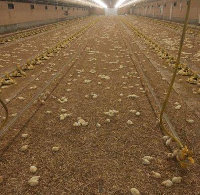 chicks 24 hoursjpeg